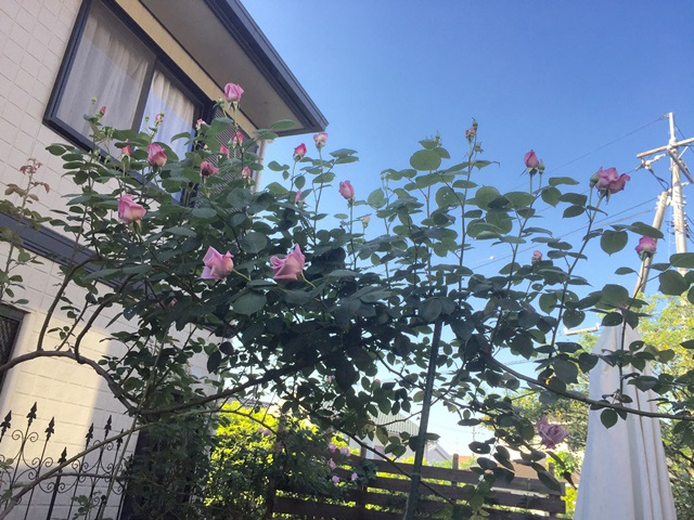 薔薇が開花し始めたよ♪